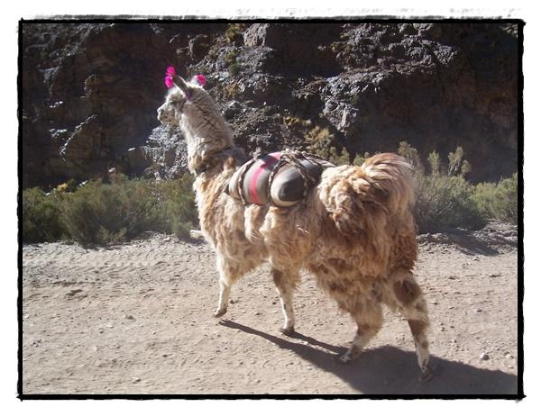 Lama Bolivie