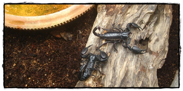 Scorpion, Siam Insect Zoo, Chiang Mai
