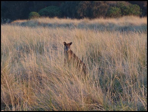 Australie animal