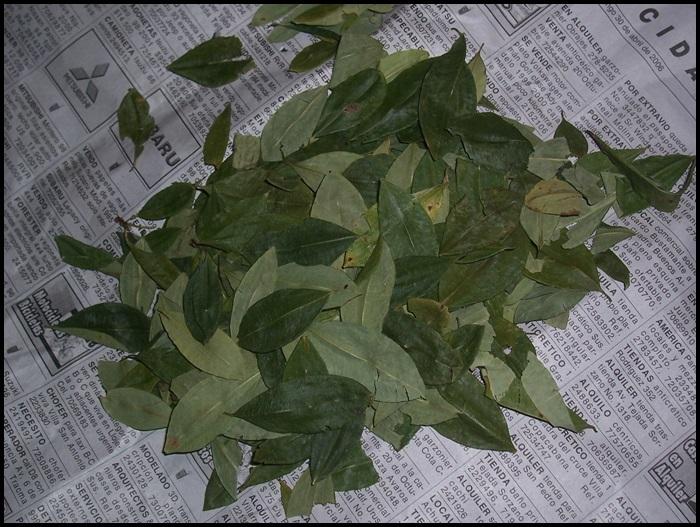 coca Bolivie